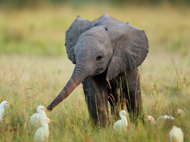 Elephant and ducklings
