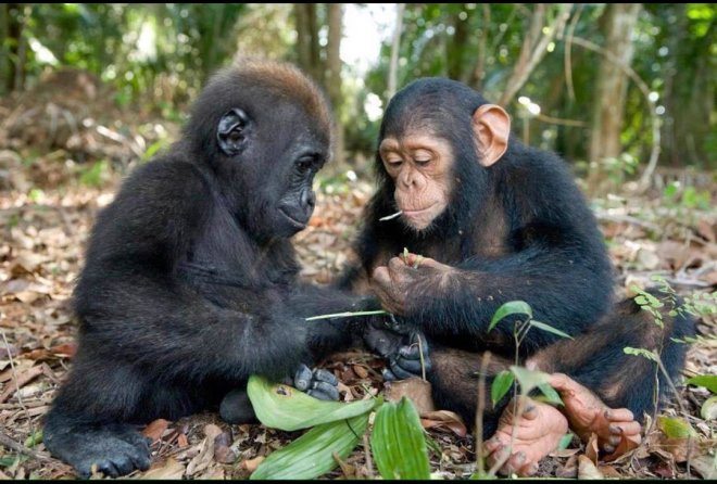 Baby Chimp and Baby Gorilla