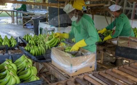 La exportación de banano sumó US$859,2 millones