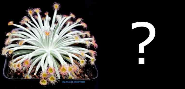 Drosera derbyensis 'Winjana' Hybrid Seeds