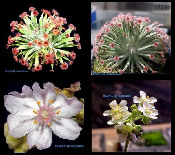 Drosera ordensis 'Kununurra' (21 km East) x Drosera derbyensis 'Beverley Springs Seeds