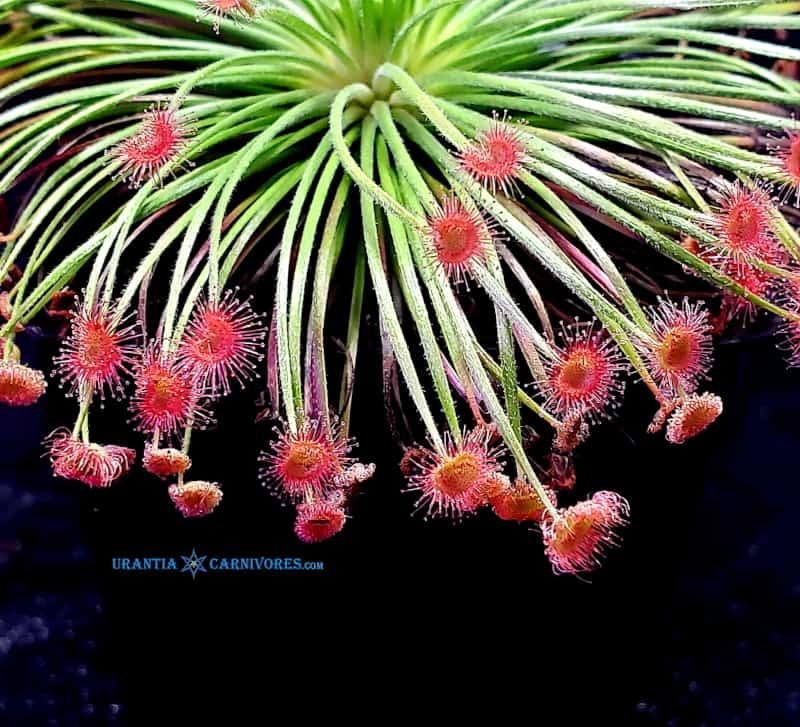 Drosera broomensis 'Taylors Lagoon' (8 km West)
