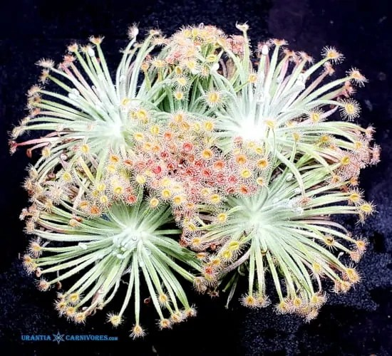 Drosera derbyensis 'Gibb River, Kimberley' Thumbnail
