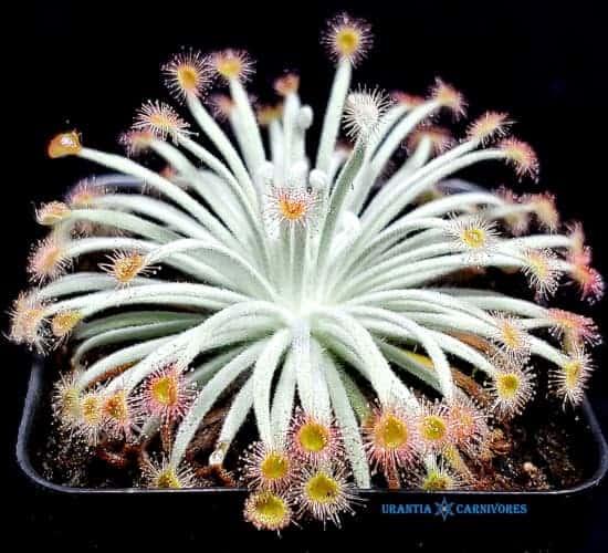Drosera derbyensis 'Winjana, Kimberley, W.A.' Cover