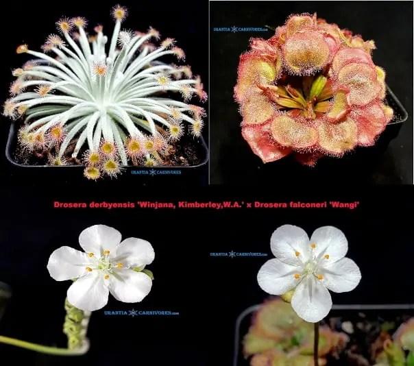 Drosera derbyensis 'Winjana, Kimberley,W.A.' x Drosera falconeri 'Wangi'