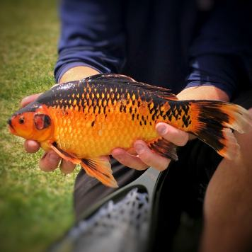 Black/Gold Common Goldfish