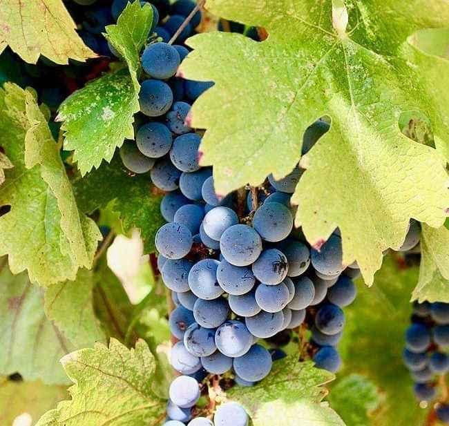 Applegate Valley wine tasting: Troon Vineyard grapes, on UrbanBlissLife.com