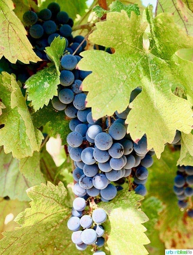 Applegate Valley wine tasting: Troon Vineyards grapes, on UrbanBlissLife.com