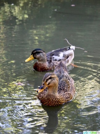 Ashland Oregon Travel Guide - ducks at Lithia Park
