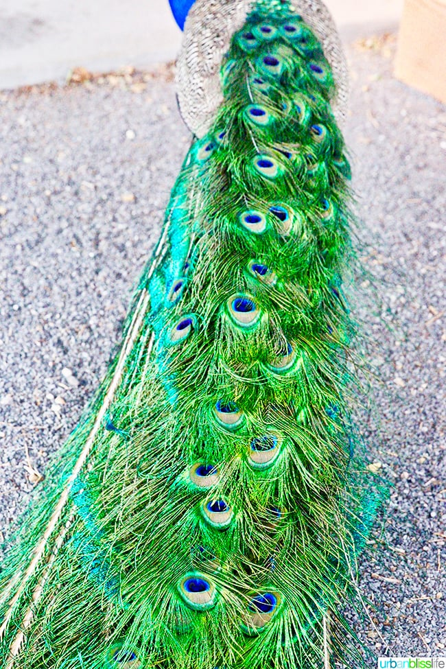 peacock feathers Los Poblanos Inn Albuquerque New Mexico