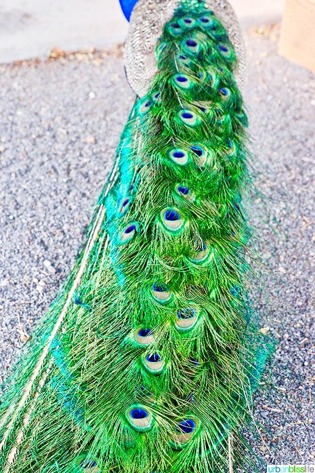 peacock feathers Los Poblanos Inn Albuquerque New Mexico