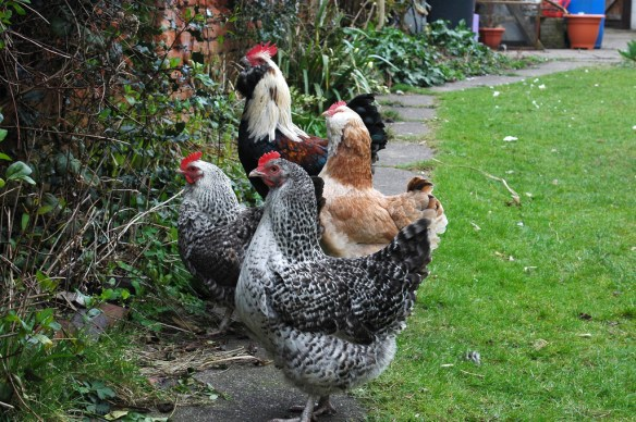 Chickens in the Garden by steve p2008