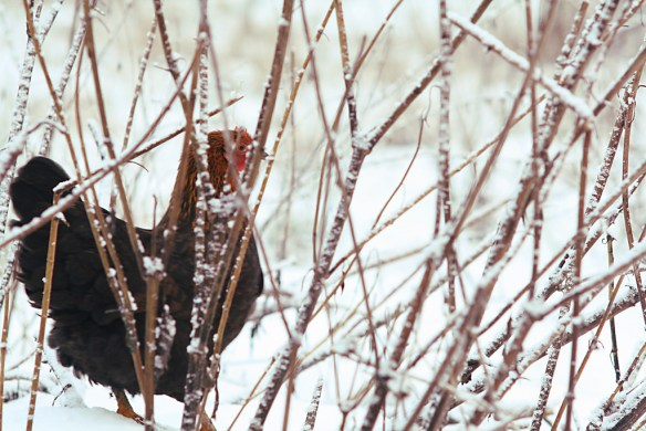 Lonely chicken (first snow in last autumn)
