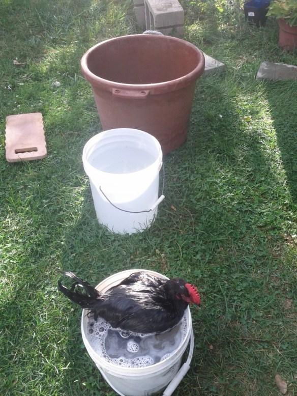 Three Bucket Chicken Washing Method - Photo by Jen Pitino
