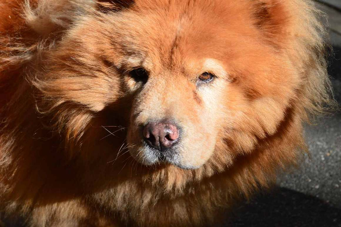 Luna the Chow Chow