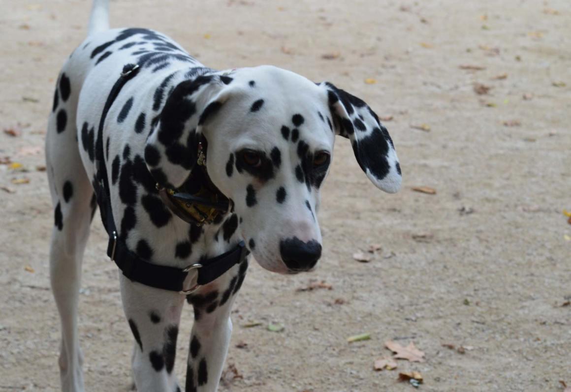 Dalmatian Big dogs