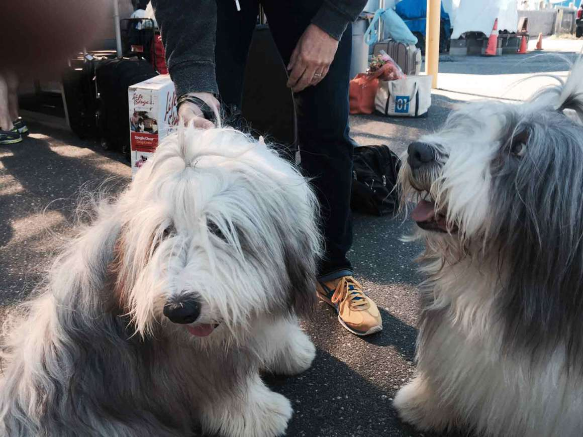 Bearded Collies Seamus and Cole