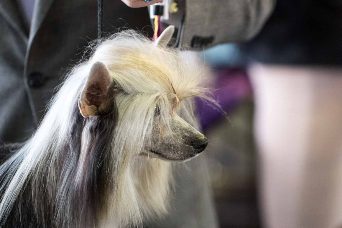 Chinese Crested (Photo: Natalie Siebers)