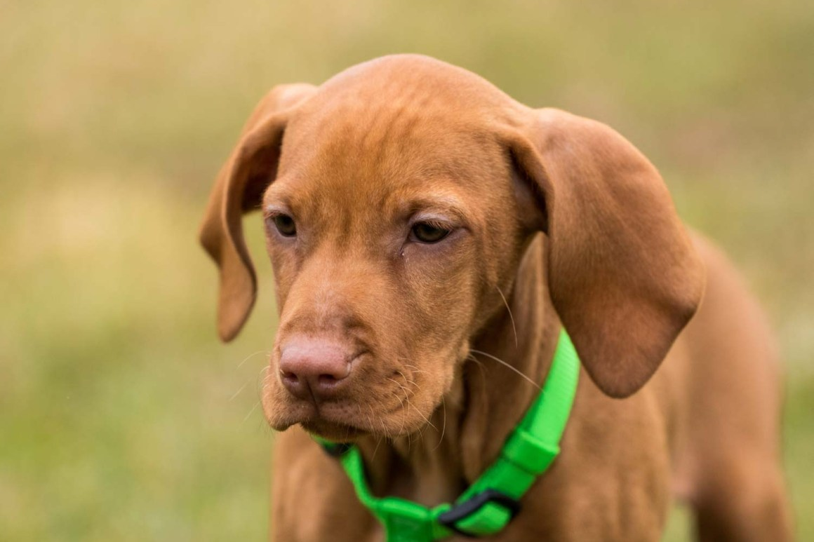 Breed of the Week Vizsla