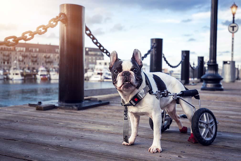 Dogs of Boston