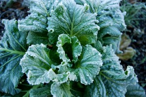 With a bit of planning you can have fresh greens all winter.