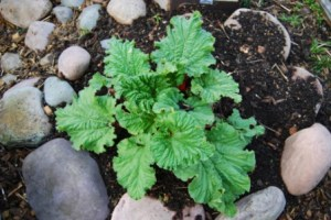 Making a rock circle then filling it with dirt gave room to plant this rhubarb.