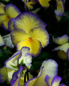 Pansies hold their color when dried.