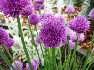 Chives in full bloom.