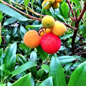 Strawberry tree or Arbutus unedo.  Fruit ripens in the fall and it's quite tasty.