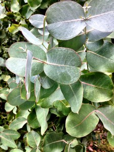 Eucalyptus.  The leaves of this tree are used for many different medical purposes.  Don't take more than one or two though - the tree needs them!