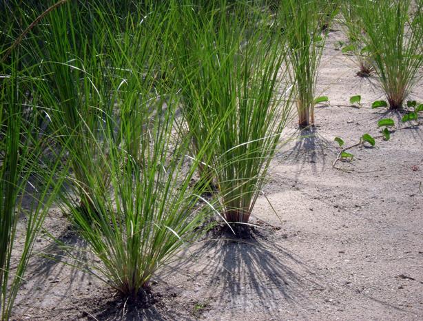 dune-grass-urbangardensweb