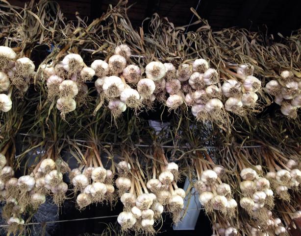 stone-barns-garlic-drying-urbangardensweb