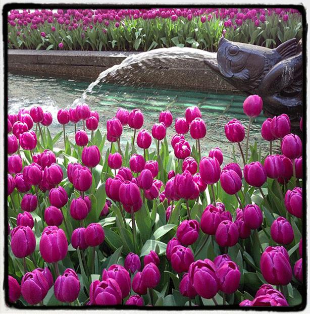 nyc-rockefellercenter-promenade-channelgardens-tulips