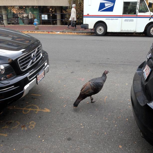 wild-turkey-between-cars-cambridge