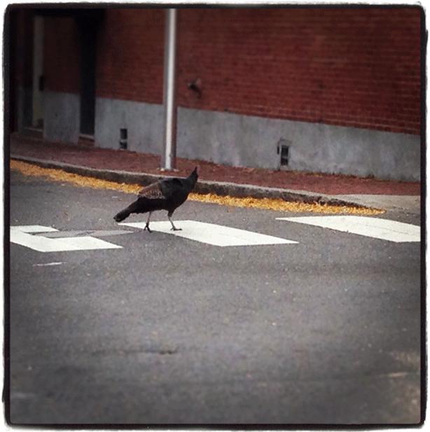 turkey_crossing-in-crosswalk-cambridge