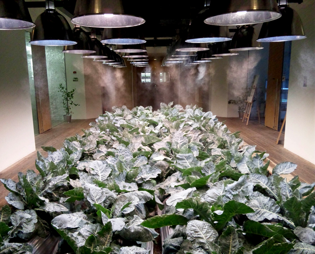pasona-lettuce-urbangardensweb
