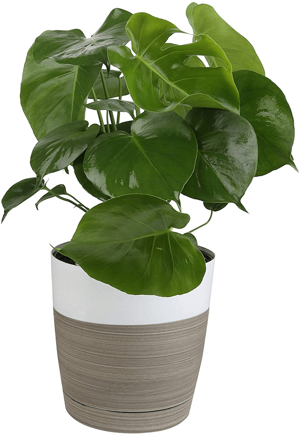 cheese_monstera_plant_in_decorative_container_gardening_gift