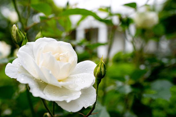 bunny_mellon_design_white_house_rose_garden_white_roses