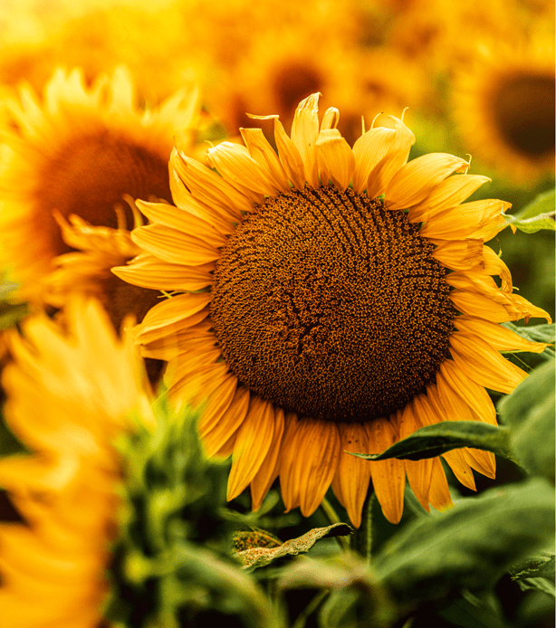 Sunflowers_detail_of_petals