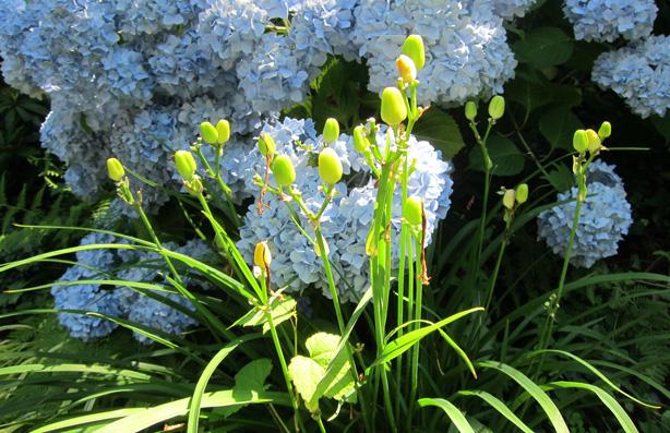 blue-hydrangeas-perennial-flower-bed