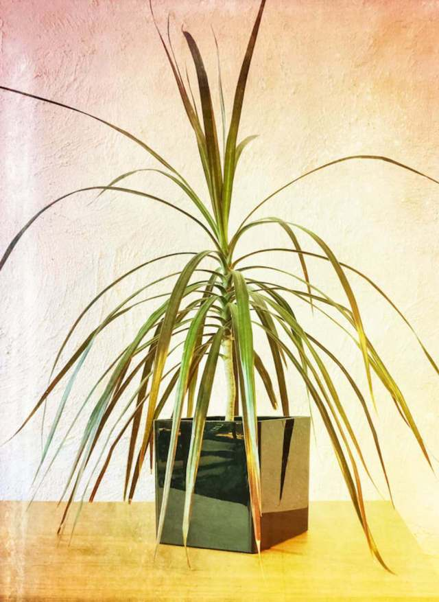 madagascar dragon tree Low Light Loving Houseplants That Can Survive in Sun Deprived Homes