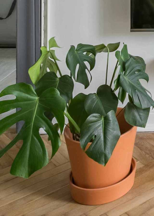 monstera Low Light Loving Houseplants That Can Survive in Sun Deprived Homes