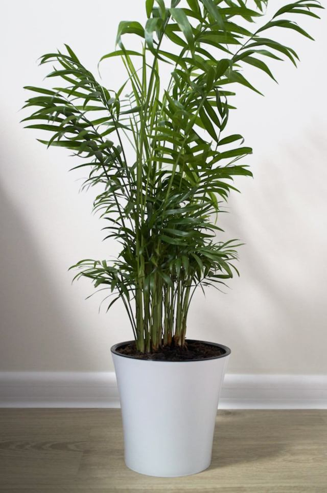 parlor palm chamaedorea Low Light Loving Houseplants That Can Survive in Sun Deprived Homes