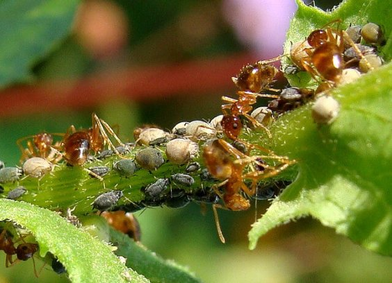 Aphids and Ants - survival gardening