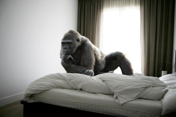 Orangután en cama