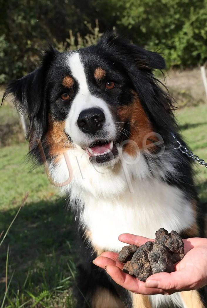 Portrait d'un chien à truffes lors de la récolte de la Truffe en Périgord Noir