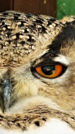 Owls eye(1)300(1)