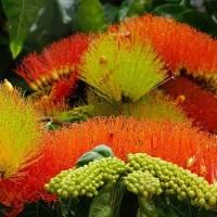 Historias de flora Uruguaya flor de cepillo