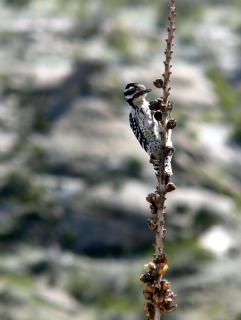 Well-Balanced Woodpecker