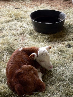 Day-Old Calf